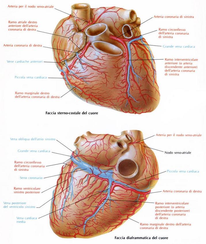 Coronarie del cuore come e fatto e come funziona il cuore for Vasi coronarici